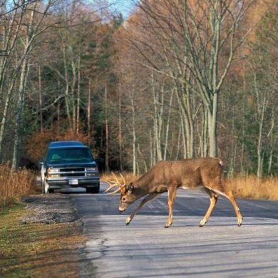 Deer on the road