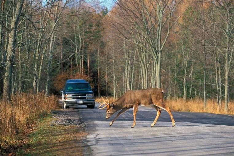 Deer on the road