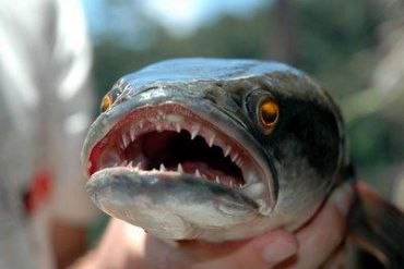 Saskatchewan targets the northern snakehead