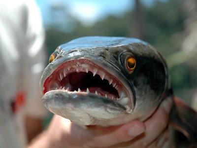 Saskatchewan targets the northern snakehead