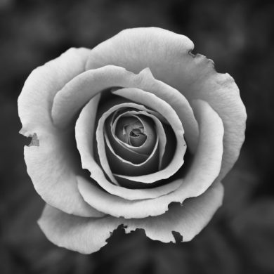 Black and white photo of a white rose in bloom