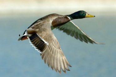 Where to find waterfowl in Newfoundland