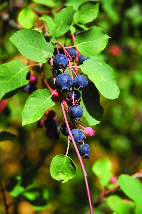 Saskatoon Berry (Amelanchier alnifolia)