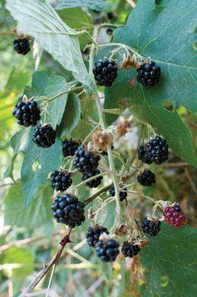 Trailing Blackberry Rubus (ursinus subsp. macropetalus)