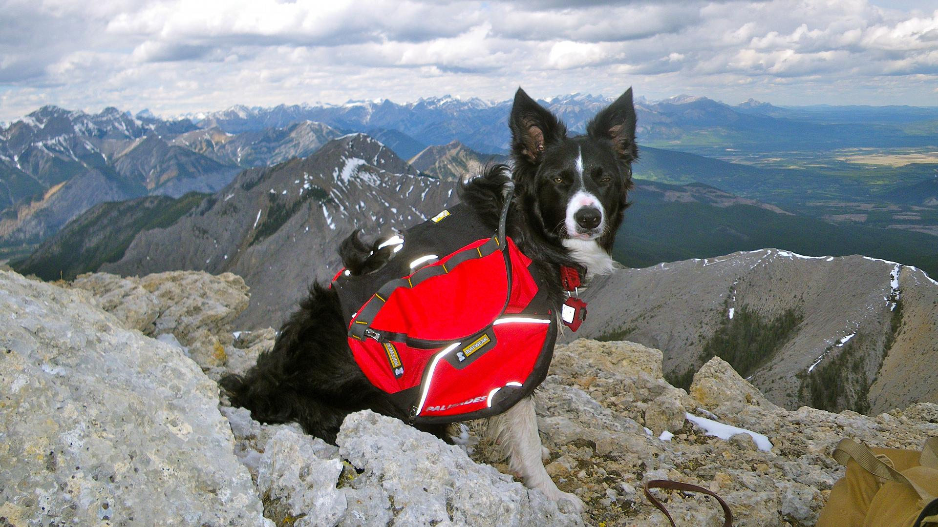 Why it's high time for Alberta to legalize pack dogs