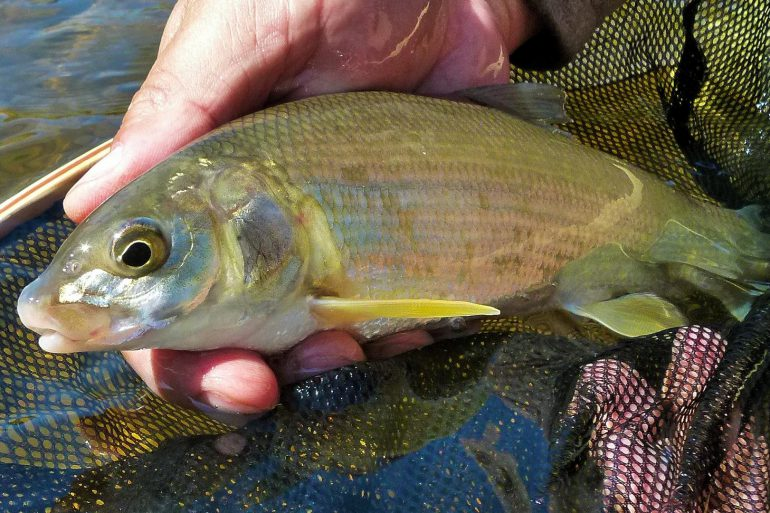Why you've got to try fishing for mountain whitefish