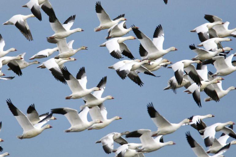 Fall goose spreads