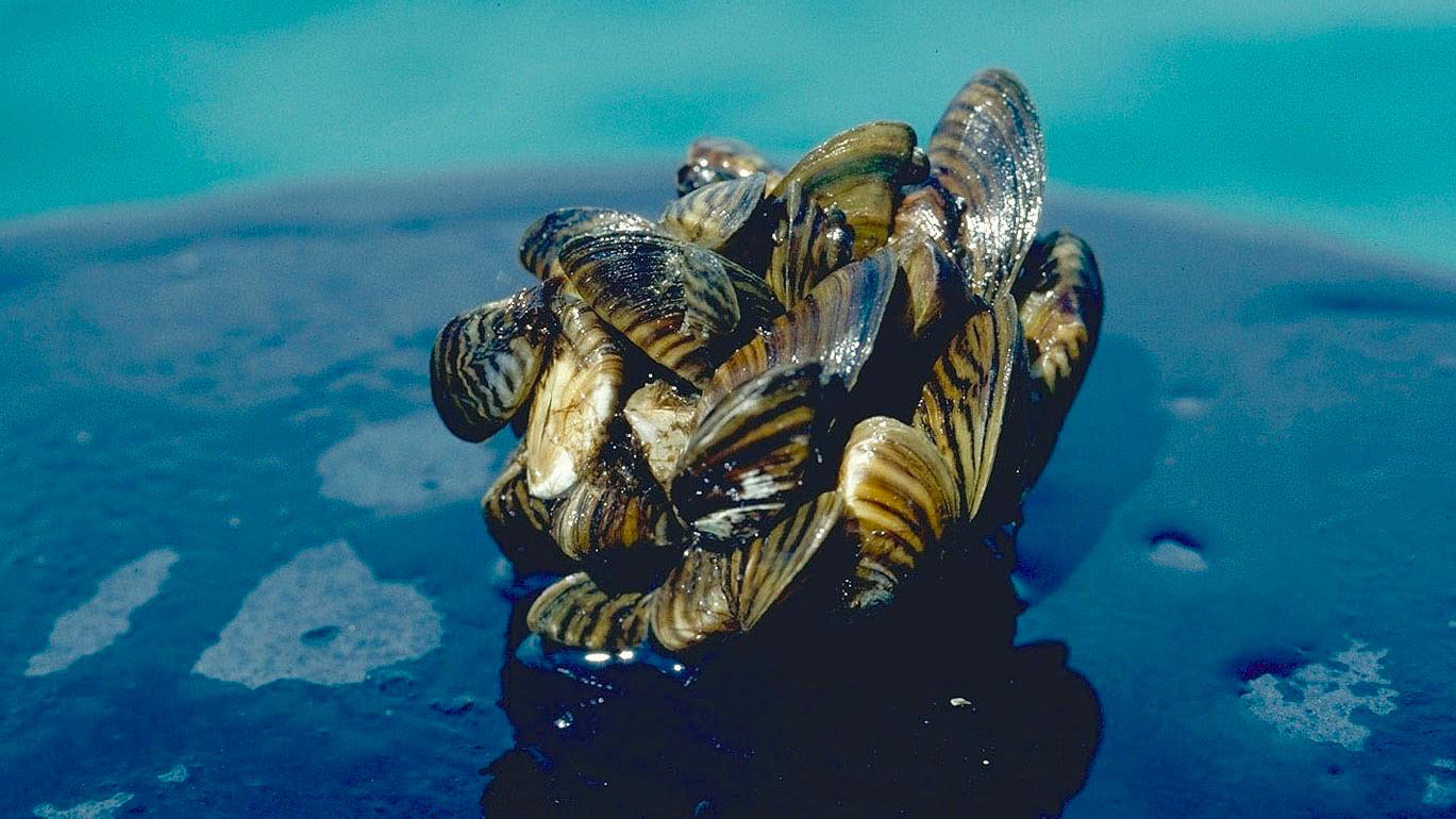 Zebra mussel cluster. Photo taken by D. Jude, Univ. of Michigan.