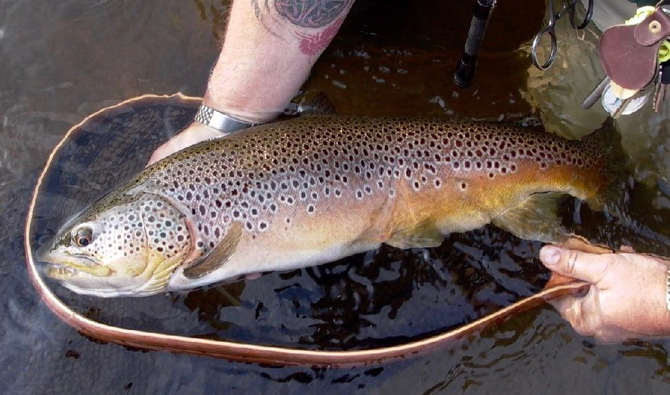 Hefty brown trout