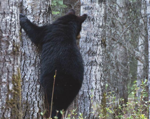 Black bear climbing a tree