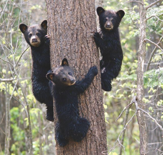 Three black bear cubs climbing a tree