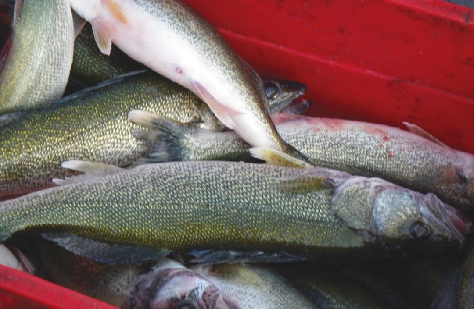 Lake Winnipeg's walleye harvest is a hot topic