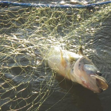 Commercial nets are harming brood stock