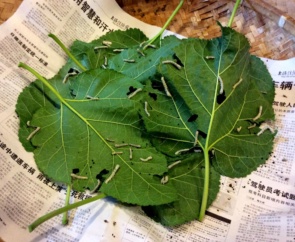 Leaves and silkworms