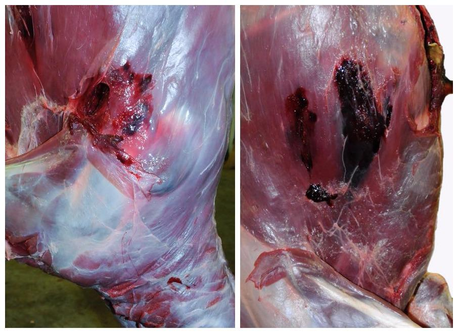 Entry (left) and exit wounds reveal damage from bullets. Credit: Lowell Strauss.