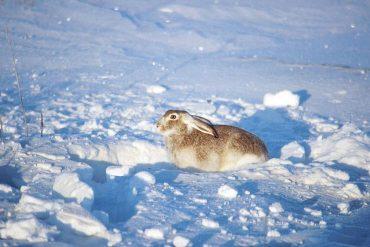 Rabbit hunting basics