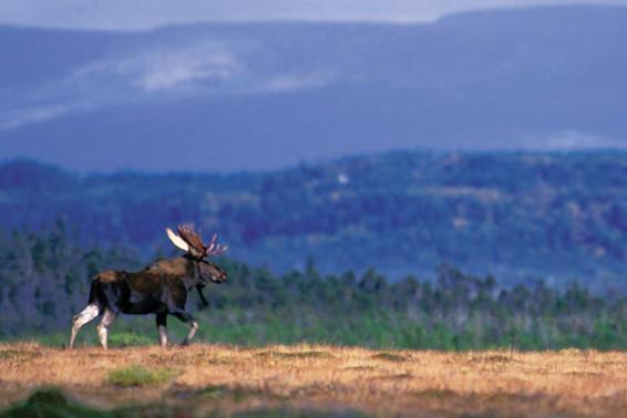 Moose hunting in October