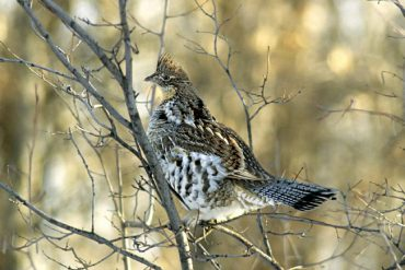 Hunting ruffed grouse in December