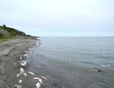 Lake Erie fish kill likely due to a natural process
