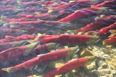 Sockeye Salmon in the Adams River near Chase, B.C.