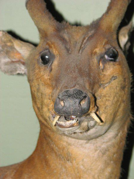 Bad deer mount.