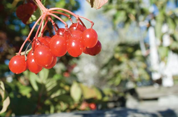 Choke Cherry (Prunus virginiana)