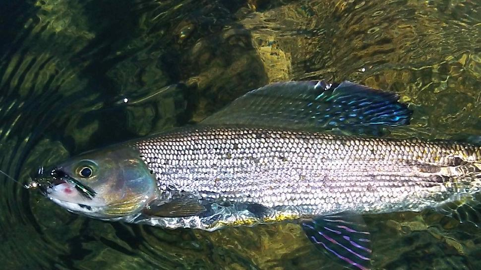 N.W.T. beauty: A colourful Arctic grayling, waiting to be released