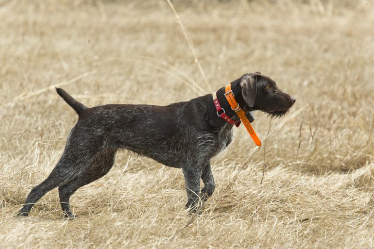 How to tune up your hunting dog