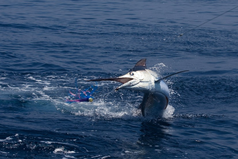 Fisherman narrowly avoids being speared by jumping marlin