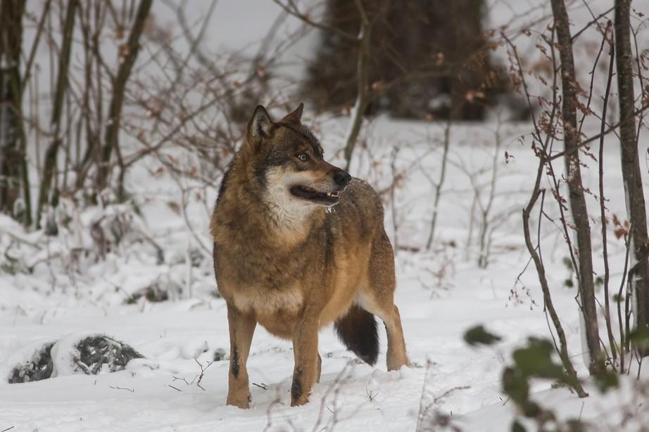 Rethinking the way we manage wolves in Canada