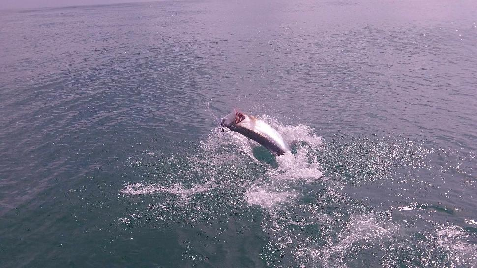 My 80-pound tarpon makes one of two jumps. The earlier 65-pounder cleared the water four times!