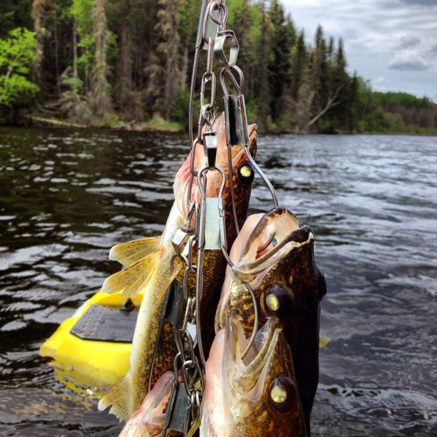 Walleye on a stringer