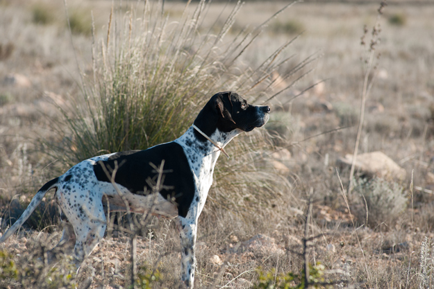Dog sense: 4 ways to keep your pointer safe this season