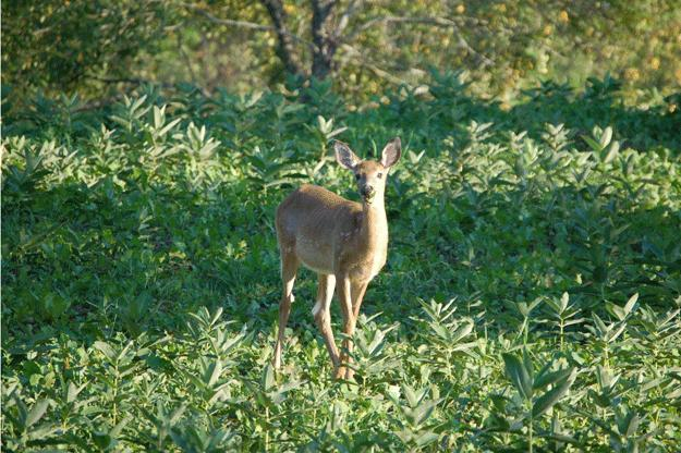 Deer soon began coming to Crawford's plot regularly to feed, including this fawn in September 2012. Credit: Rocky Crawford.