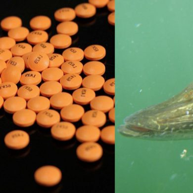Drugs in fish