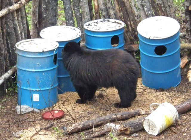 You can lure bears with anything from meat scraps to oats and molasses, as long as the bait is highly odorous. Credit: Gord Nuttall.