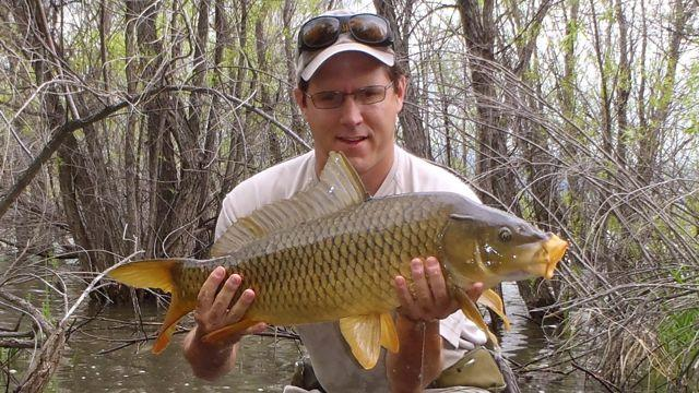 Credit: McTage. McTage hoists a hefty carp taken in skinny water.