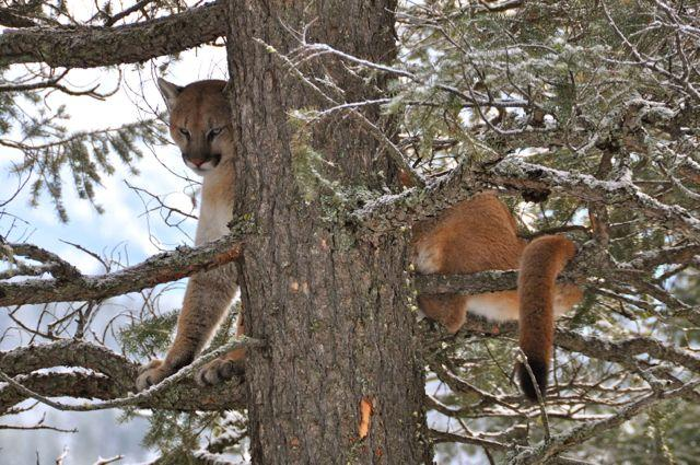 Well-trained hounds can readily tree a big cougar. Credit: T.J. Schwanky.