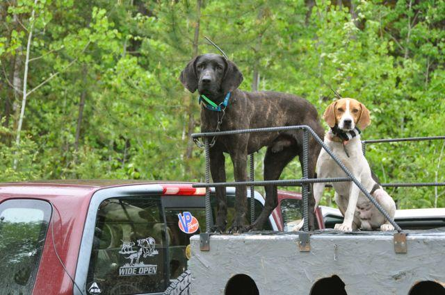 """Strike dogs"" waiting to pick up a scent. Credit: T.J. Schwanky."