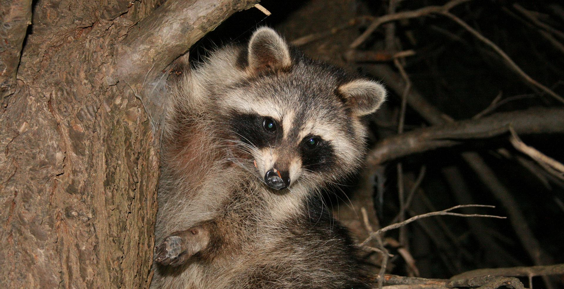 Hunting Ontario's overpopulated masked bandits • Outdoor Canada