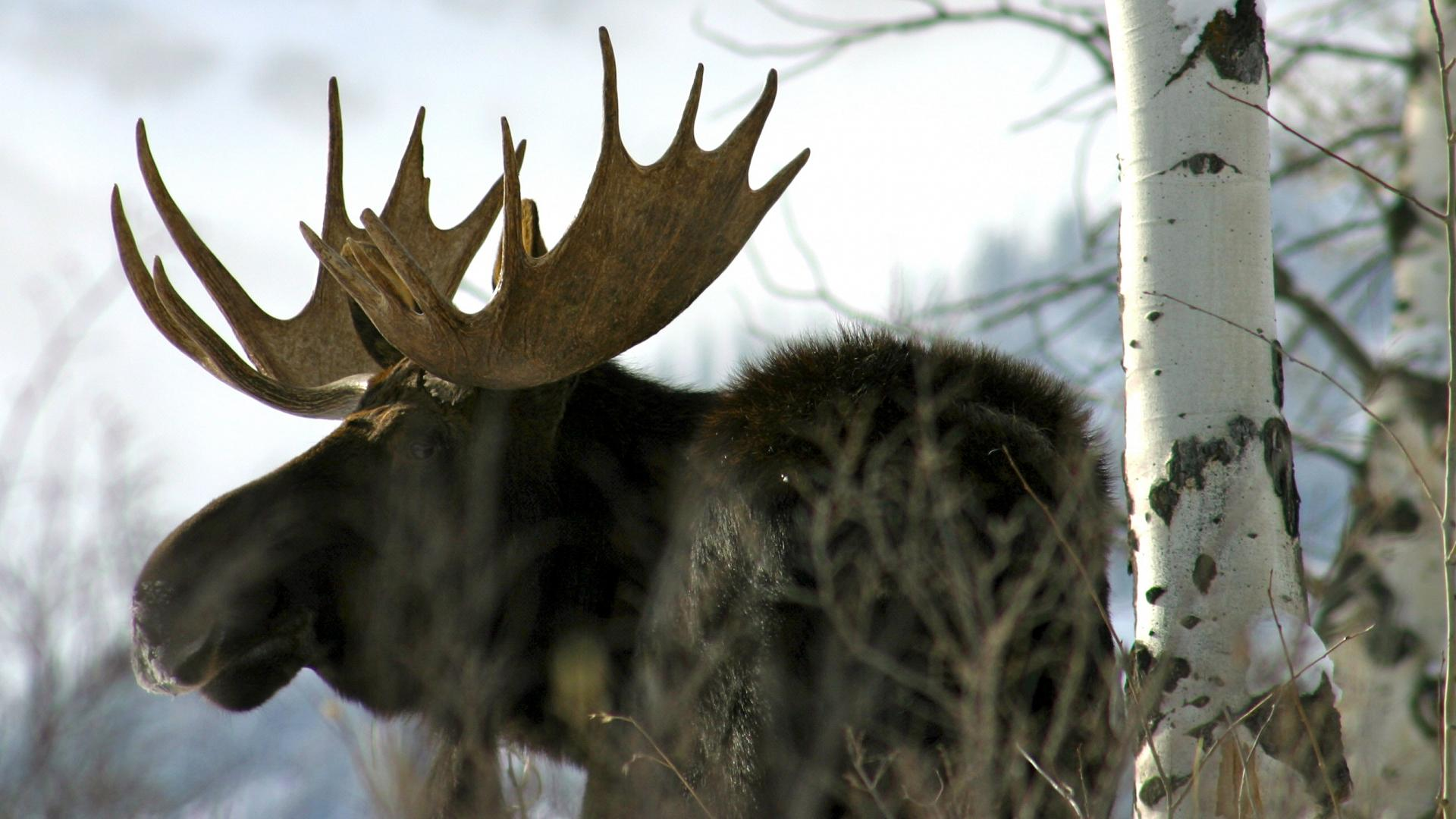 The best cartridges and bullets for toppling big moose