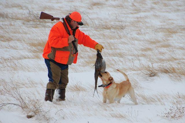 Credit: Ken Bailey. Release hunts make for great winter wingshooting.