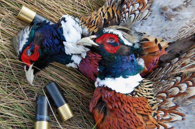 Credit: Ken Bailey. A 20-gauge, one-ounce load of #6 shot gets the job done.