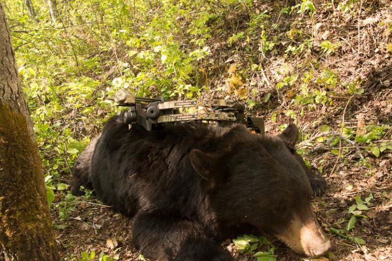 Bowhunted bear