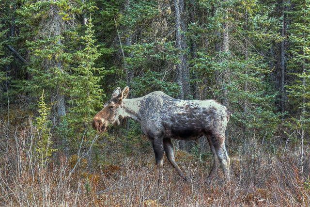 "Credit: Vanessa Oakes. A ""ghost moose"" suffering from ticks."