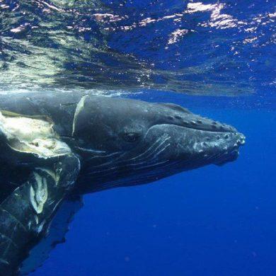 A ship-struck Humpback. Credit: NOAA.