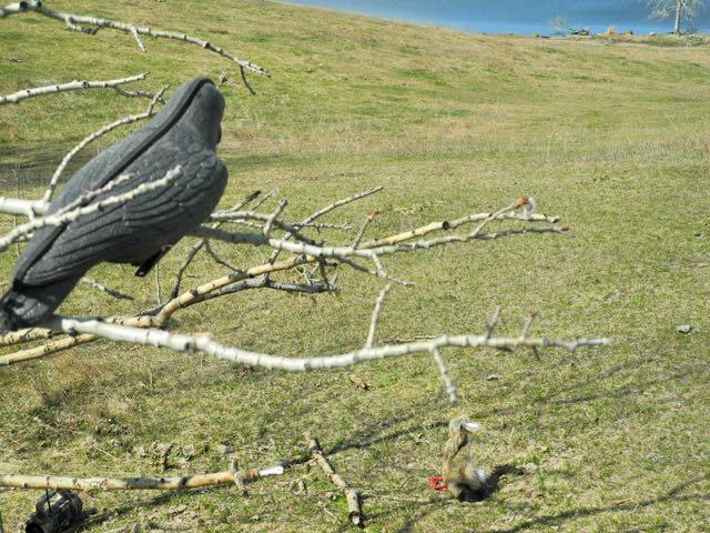Credit: Al Voth. Crow decoys help attract ravens.