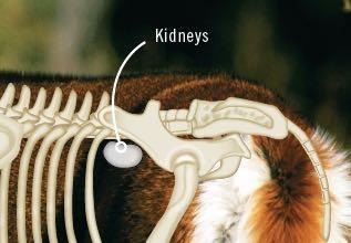 Deer kidneys