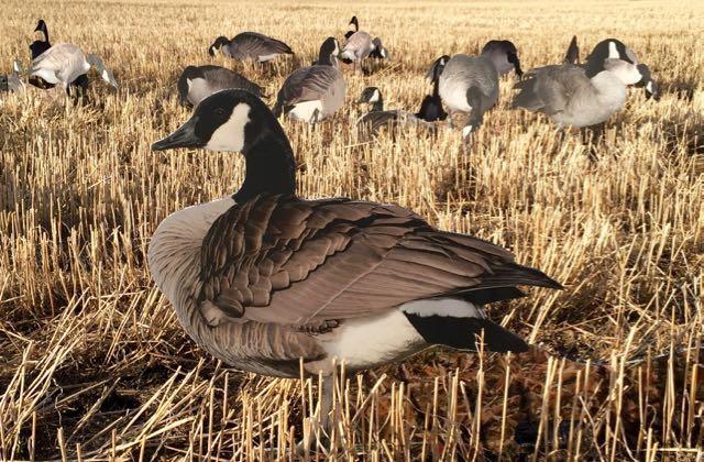 Canada goose silhouette decoys