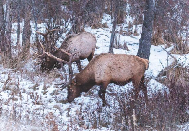 As the late season grows colder, elk will feed more. Credit: Tupulak.